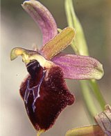 Ophrys biscutella x O. promontorii